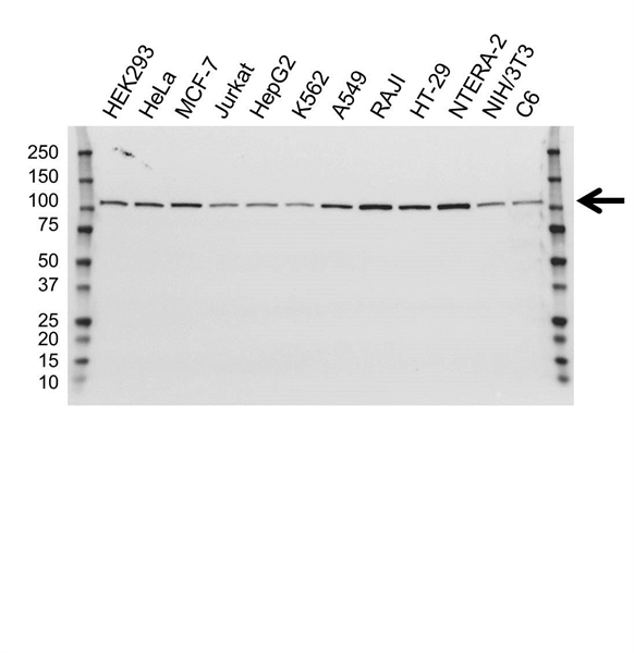 USP5 Antibody (PrecisionAb<sup>TM</sup> Antibody) | OTI1F8 gallery image 1