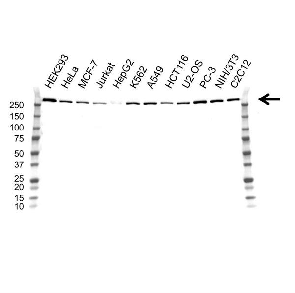 USP9X Antibody (PrecisionAb<sup>TM</sup> Antibody) | OTI1D7 gallery image 1