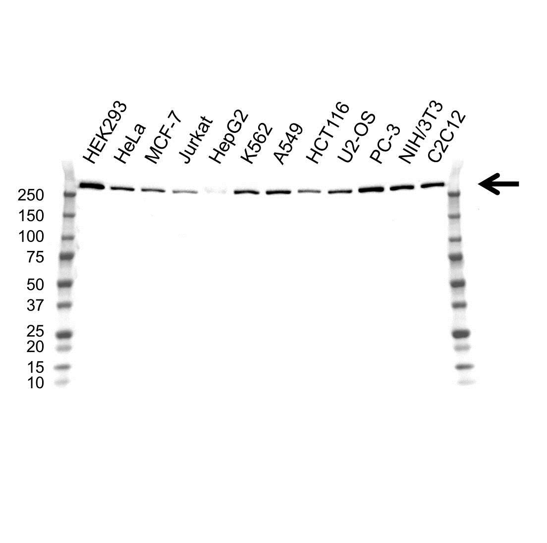 USP9X Antibody (PrecisionAb<sup>TM</sup> Antibody)   OTI1D7 gallery image 1