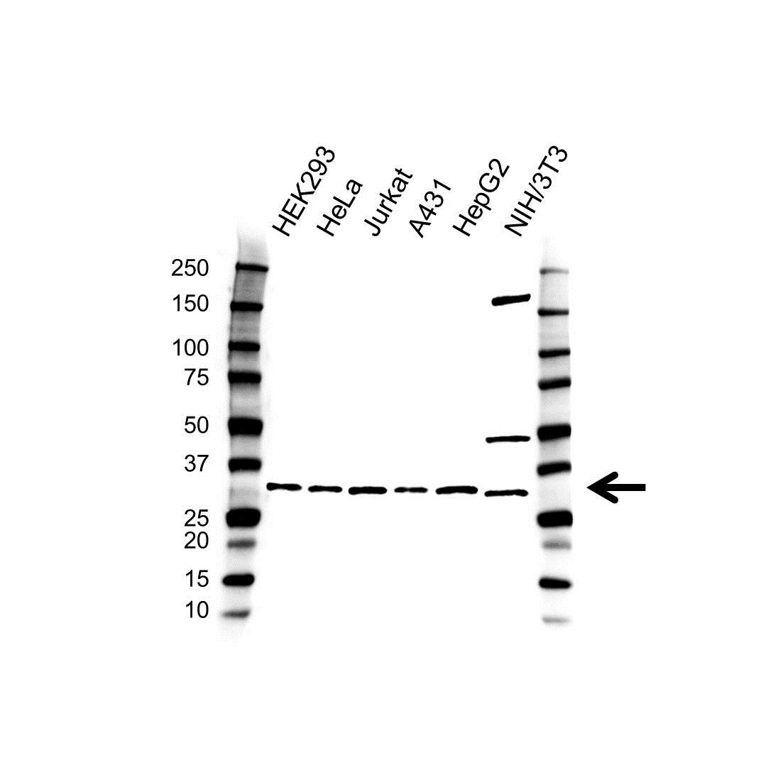 Vapa Antibody (PrecisionAb<sup>TM</sup> Antibody) gallery image 1
