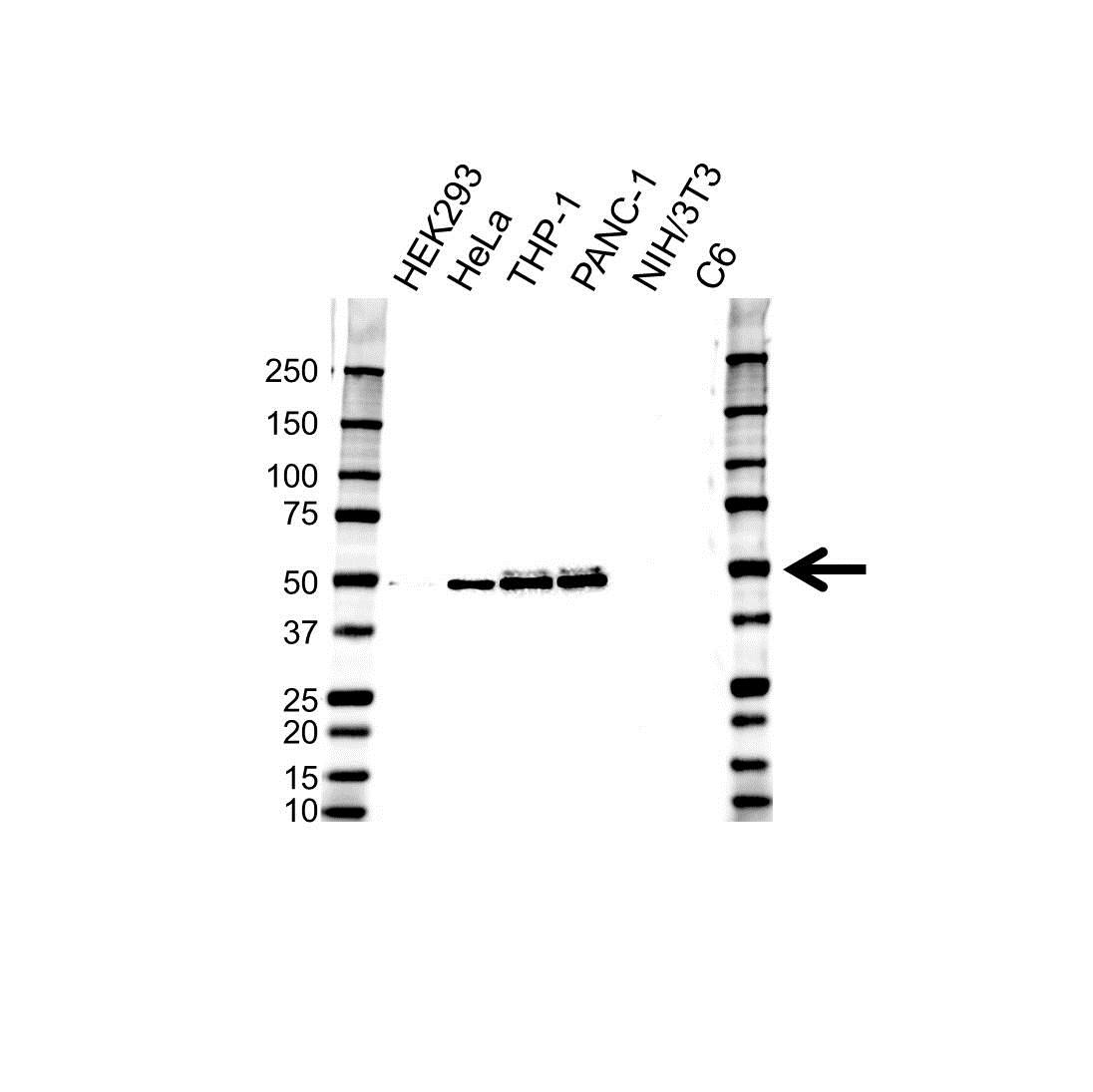 VASP Antibody (PrecisionAb<sup>TM</sup> Antibody) gallery image 1