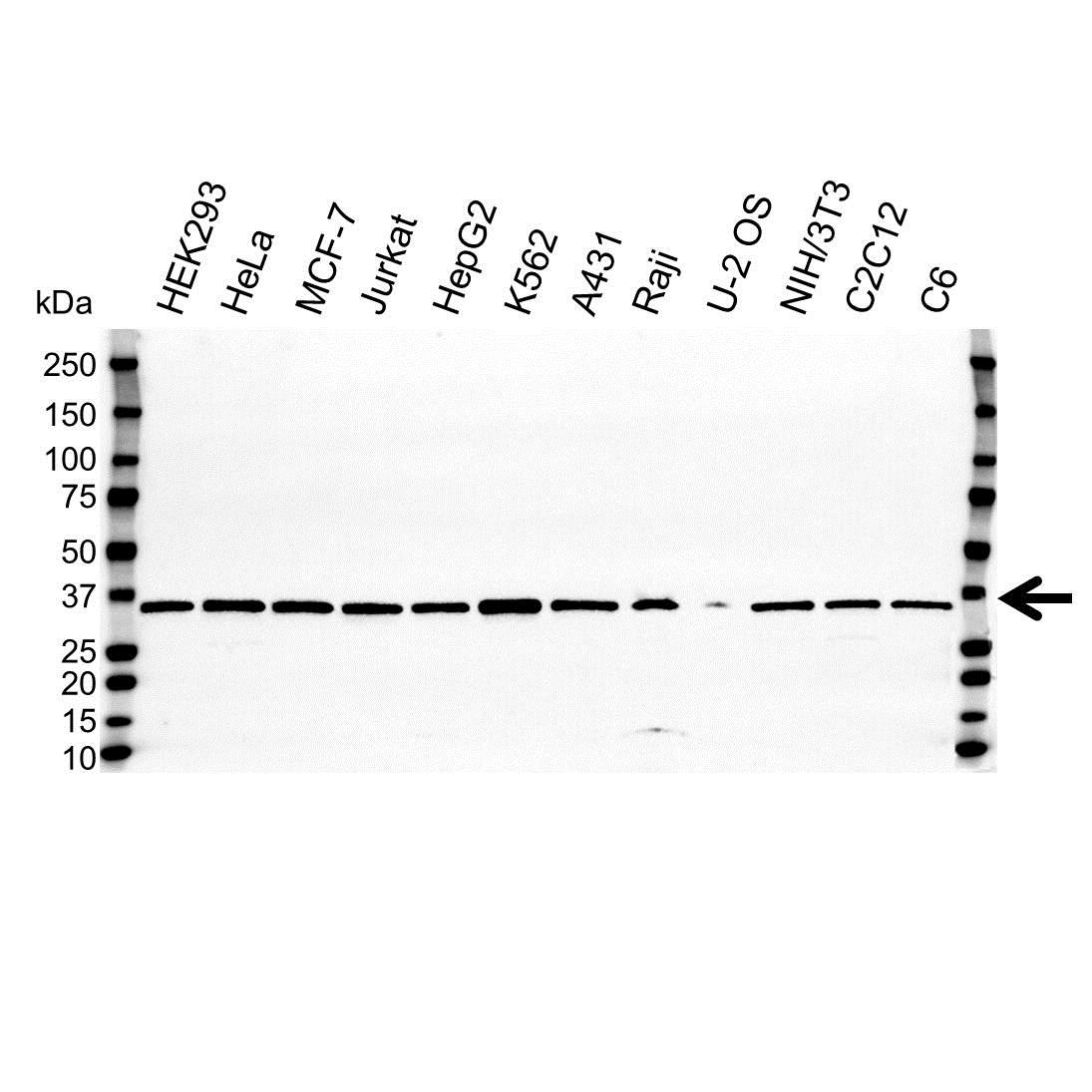 VDAC1 Antibody (PrecisionAb<sup>TM</sup> Antibody) gallery image 1