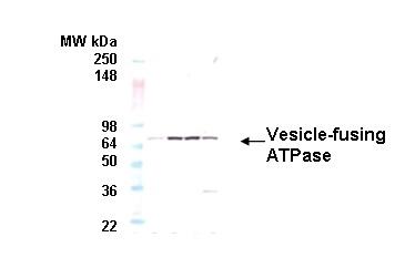 Vesicle-fusing ATPase Antibody | 9G7-3 gallery image 1