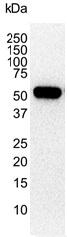 Vimentin Antibody | 2701 gallery image 3