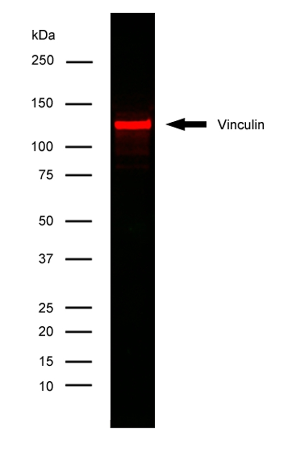 Vinculin Antibody | V284 gallery image 2