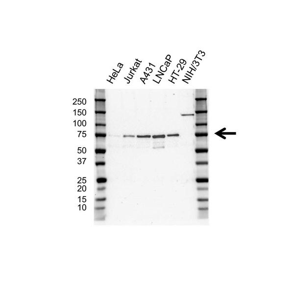 VISA Antibody (PrecisionAb<sup>TM</sup> Antibody) | OTI8A11 gallery image 1
