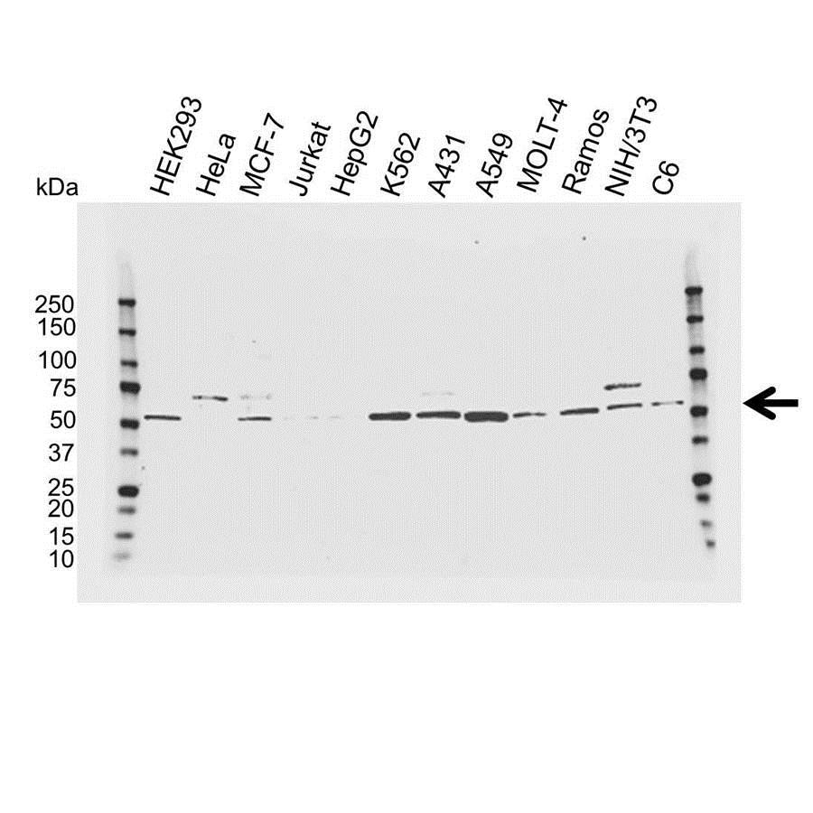 Visfatin Antibody (PrecisionAb<sup>TM</sup> Antibody) gallery image 1