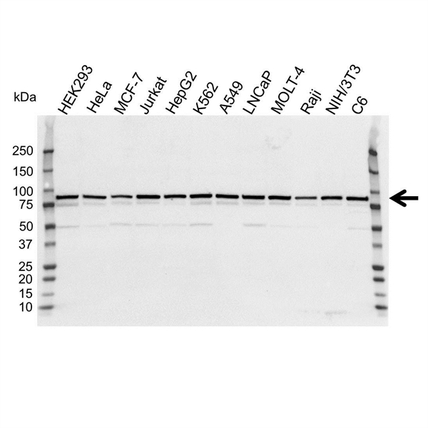 VPS35 Antibody (PrecisionAb<sup>TM</sup> Antibody) gallery image 1