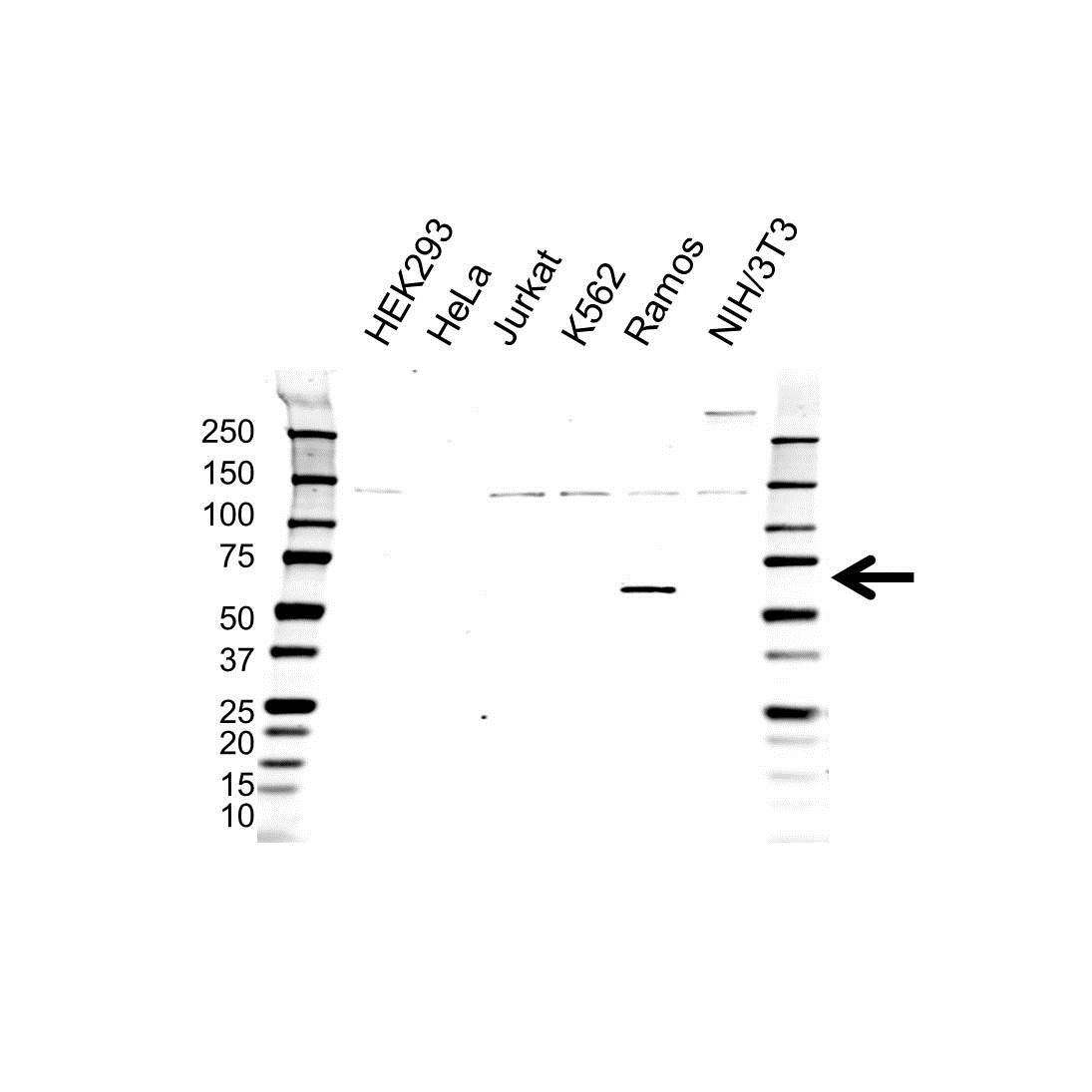 Wasp Antibody (PrecisionAb<sup>TM</sup> Antibody) gallery image 1