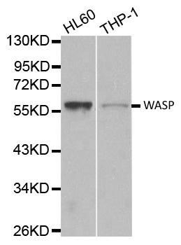 Wasp Antibody gallery image 1