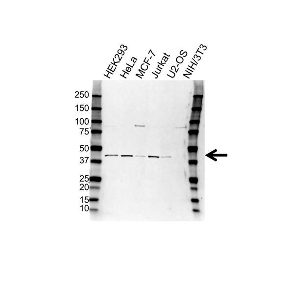 WDR77 Antibody (PrecisionAb<sup>TM</sup> Antibody) gallery image 1