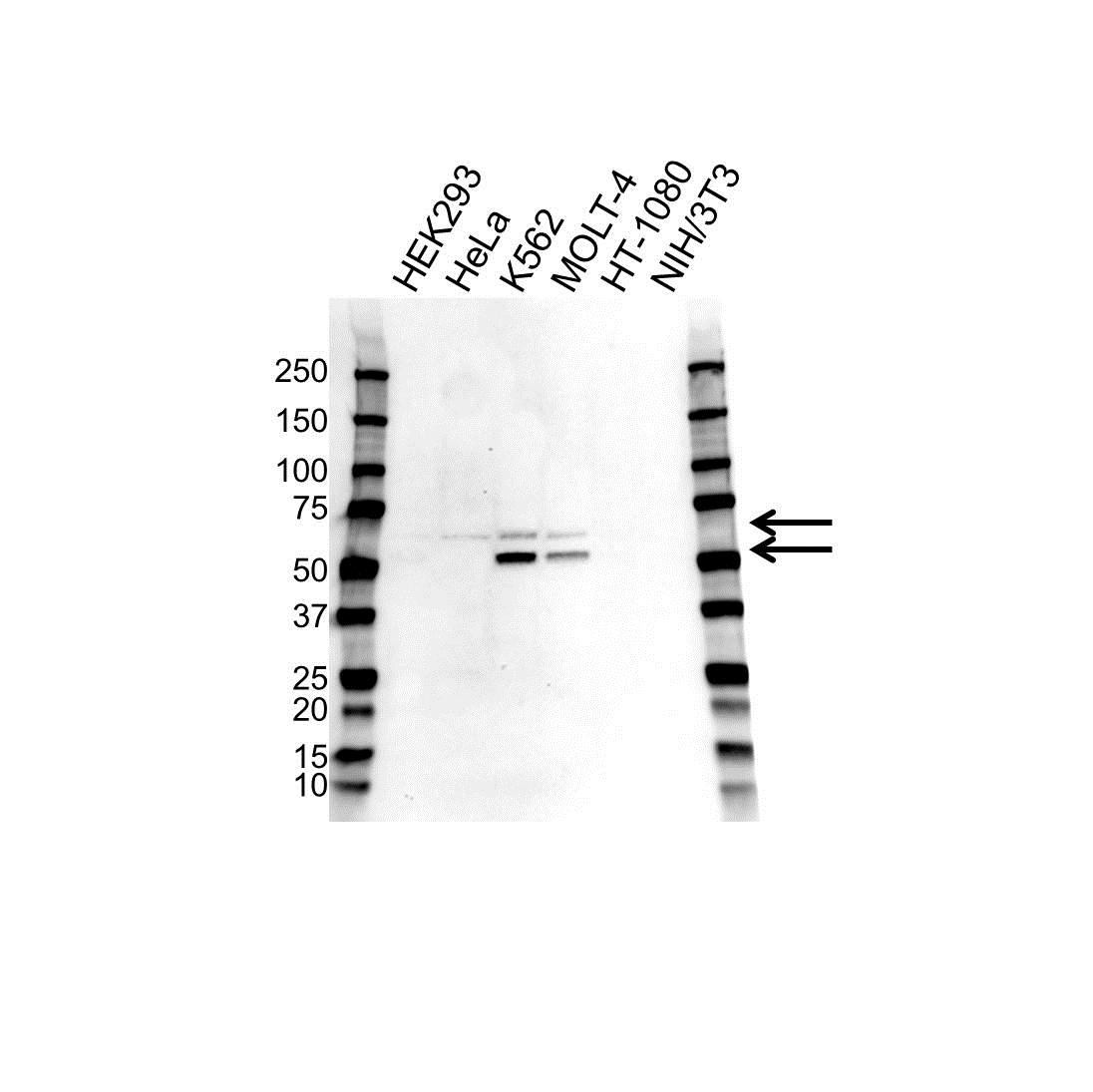 Wilms Tumor 1 Antibody PrecisionAbTM