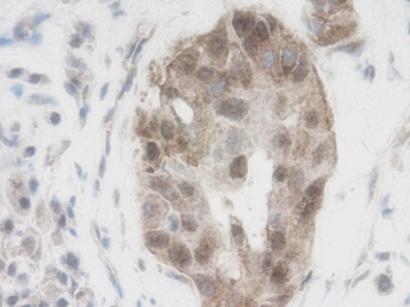 WNT-1 Antibody gallery image 2