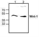 WNT-1 Antibody thumbnail image 1