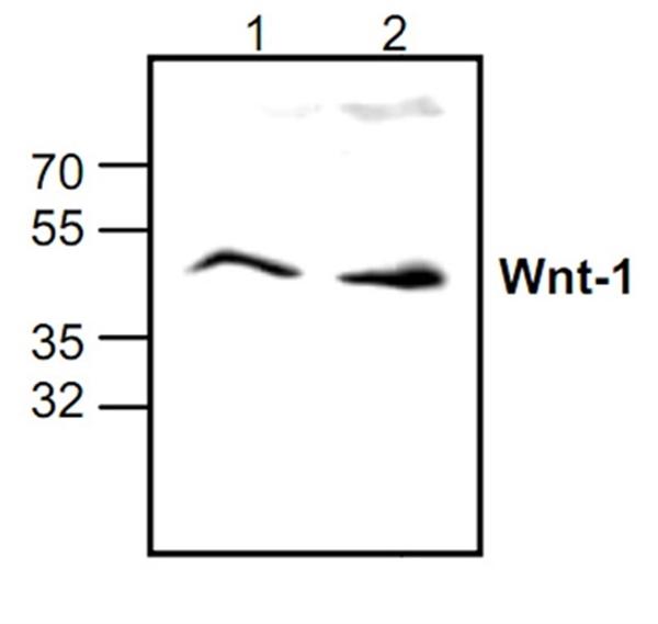 WNT-1 Antibody gallery image 1