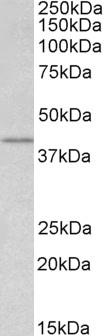 WNT-3 Antibody gallery image 1