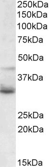 WNT-4 Antibody gallery image 2