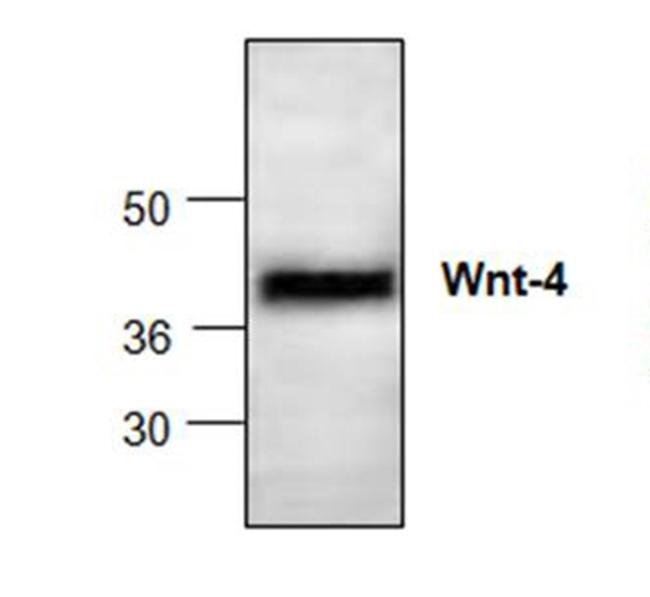 WNT-4 Antibody gallery image 1