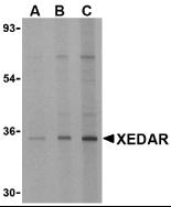 XEDAR Antibody gallery image 1