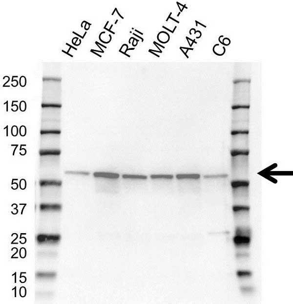 XIAP Antibody (PrecisionAb<sup>TM</sup> Antibody) gallery image 1