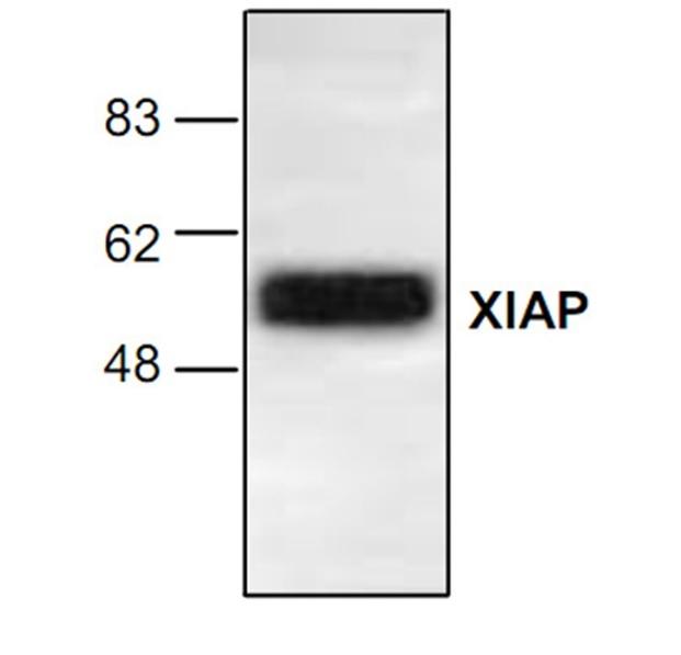 XIAP Antibody gallery image 1