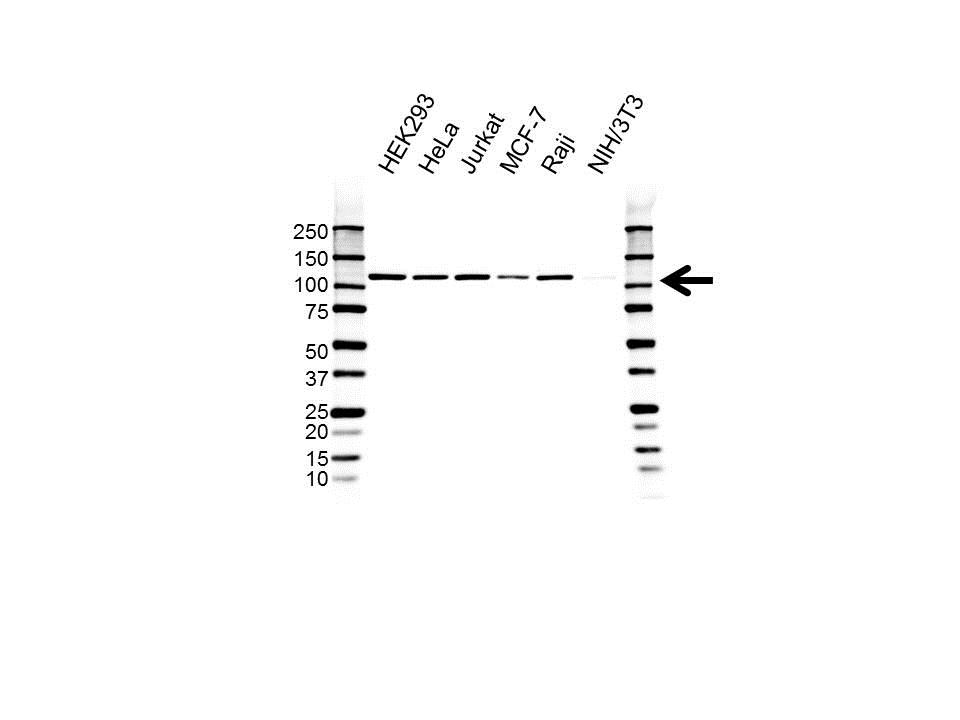 Xpf Antibody (PrecisionAb<sup>TM</sup> Antibody) | UMAB20 gallery image 1