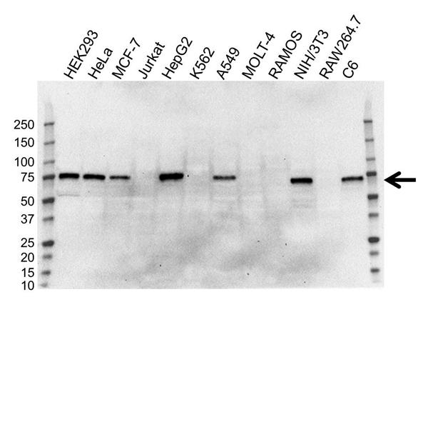 YAP1 Antibody (PrecisionAb<sup>TM</sup> Antibody) gallery image 1