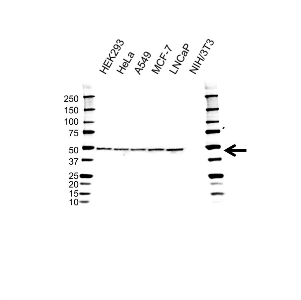 YBX1 Antibody (PrecisionAb<sup>TM</sup> Antibody) | 11A7 gallery image 1