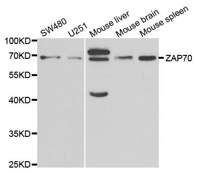 ZAP 70 Antibody gallery image 1