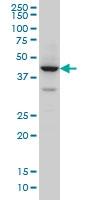 ZNF124 Antibody | 4G4 gallery image 1
