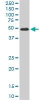 ZNF622 Antibody | 3C5 gallery image 1