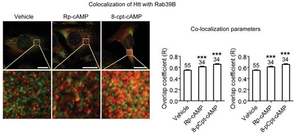 Huntingtin Antibody | HDC8A4 gallery image 3