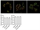 Huntingtin Antibody | HDC8A4 thumbnail image 4