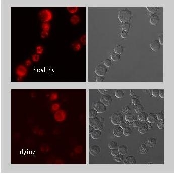 Mitochondrial Membrane Potential MitoPT™ TMRE Kit gallery image 1