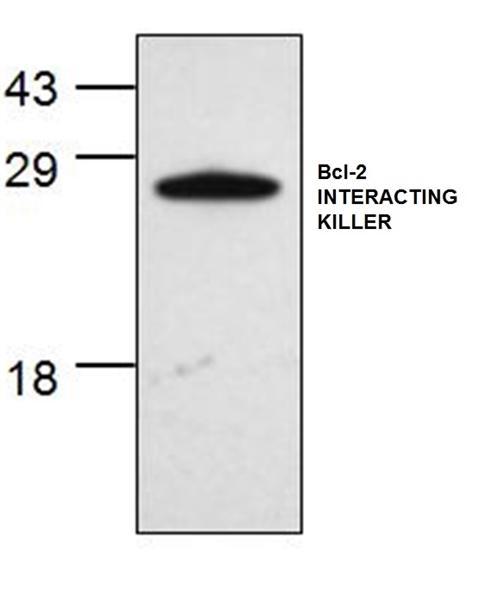Bcl-2 Interacting Killer Antibody gallery image 1