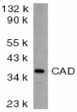 CAD Antibody gallery image 1