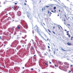 Caspase-12 Antibody gallery image 1