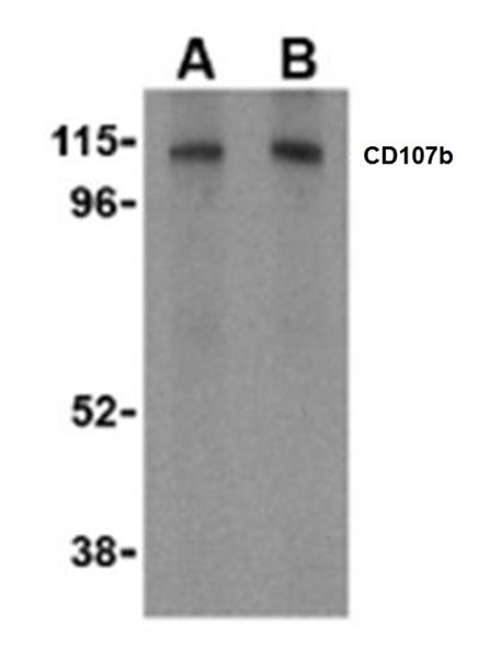 CD107b Antibody gallery image 1