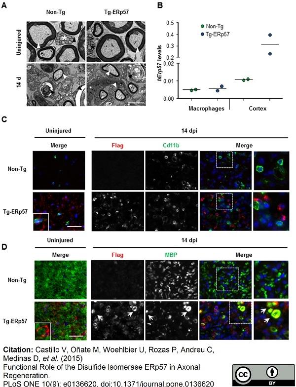 CD11b Antibody | M1/70.15 thumbnail image 11