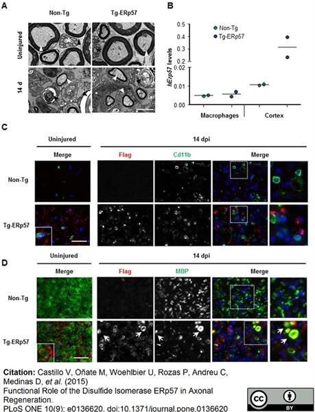 CD11b Antibody | M1/70.15 gallery image 11