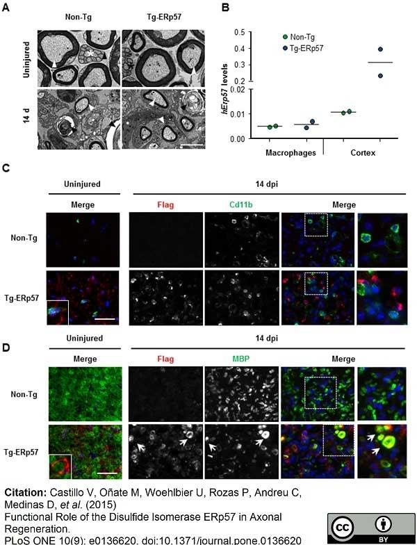 CD11b Antibody | M1/70.15 gallery image 12