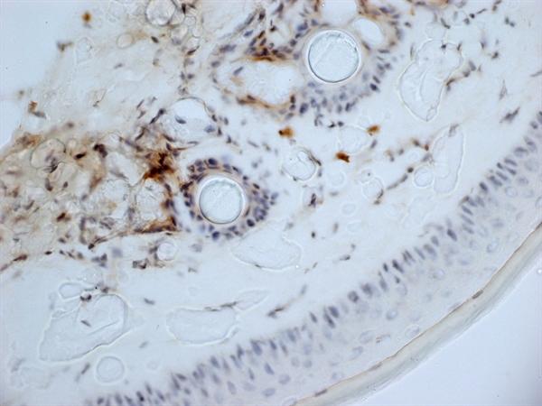 CD13 Antibody | ER-BMDM1 gallery image 6