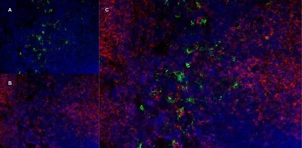 CD169 Antibody | 3D6.112 gallery image 5