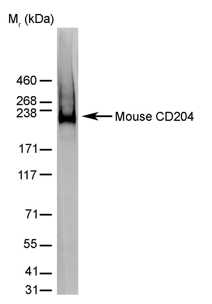 CD204 Antibody | 2F8 gallery image 7