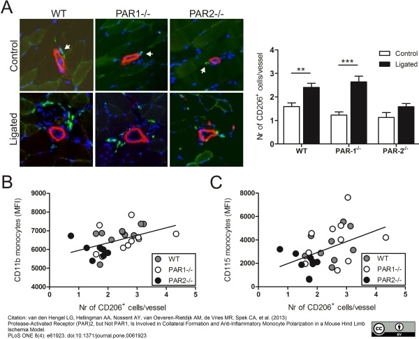 CD206 Antibody | MR5D3 gallery image 11