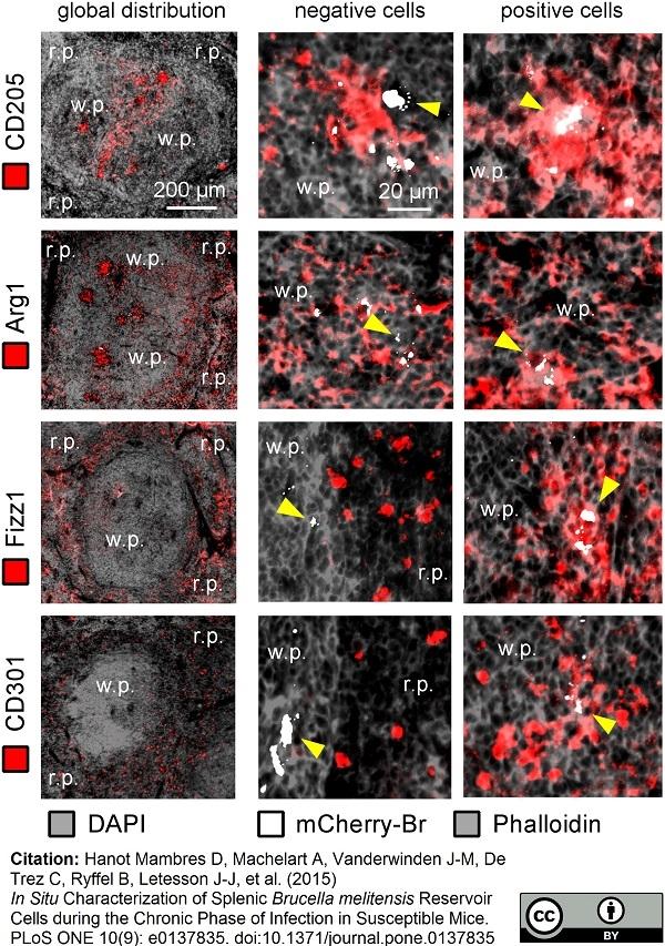 CD301 Antibody | ER-MP23 thumbnail image 5