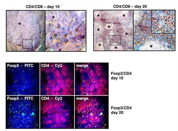 CD4 Antibody | YTS191.1 gallery image 7