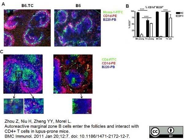 CD45R Antibody | RA3-6B2 gallery image 5