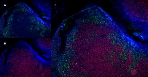 CD8 Alpha Antibody | YTS105.18 gallery image 13