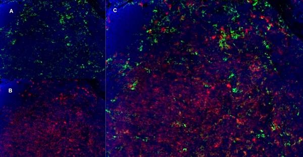 CD8 Alpha Antibody | YTS105.18 gallery image 11